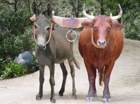 Yoked Donkey and Ox
